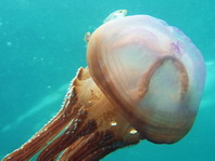 Jellyfish -Cigar Jellyfish - Thysanostoma thysanura - Zigarrenqualle