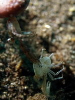 Squat Lobsters - Galatheidae - Springkrebse