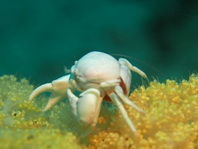 Porcelain Crab with red eggs - Pachycheles sp1 - Porzellankrebs mit roten Eiern