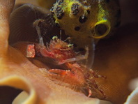 Porcelain Crab - Petrolisthes sp2 - Porzellankrebs