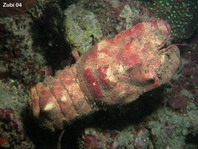 Slipper Lobsters - Scyllaridae - Bärenkrebse
