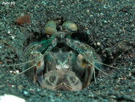 Spearing Mantis Shrimps - Speerer Heuschreckenkrebsen: Species on this page: Pseudosquilla, Lysiosquilla