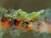Commensal Shrimps - Partnergarnelen, Felsengarnelen