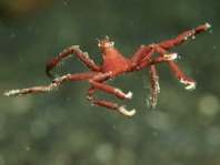Spidercrab - Achaeus sp2 - Spinnenkrabbe / Gespensterkrabbe
