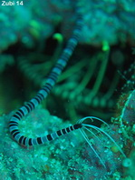 Sea Cucumber - Synaptide sp1 - Seewalze