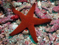 Indian Sea Star - Fromia indica (formerly F. elegans) - Indischer Seestern