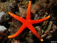 Pacific Sea Star - Fromia pacifica - Pazifischer Seestern