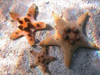 Horned Sea Star - Protoreaster nodosus - Knotiger Walzenstern (Hörnerseestern)