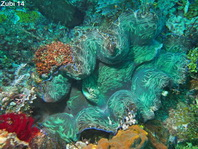 Southern Giant Clam mantle (Smooth Clam) - Tridacna derasa - Mantel der Glatten Riesenmuschel