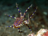 Midring Blue-Ringed Octopus - Hapalochlaena sp4 - Mittelring Blauring-Oktopus (Sulawesi)