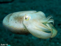 Sepia (cuttlefish). Species on this page: Metasepia, Sepia, Euprymna, Ideosepius, Nautilus