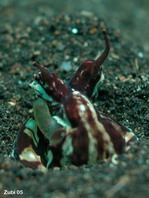Mimic Octopus (before Octopus sp. 19) - Thaumoctopus mimicus - Mimik-Oktopus