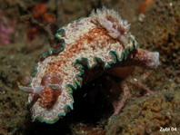 Glossodoris acosti (before Glossodoris cinta)