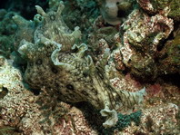 Spotted Sea Hare - Aplysia dactylomela - Gefleckter Seehase