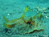 Geographic Sea Hare - Syphonota geographica - Geografischer Seehase