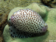 Allied Cowries - Ovulidae - Eischnecken