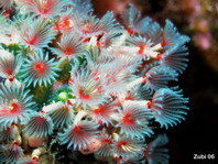 Feather Duster Worm - <em>Filogranella elatensis</em> - Filigraner Kalkr&ouml;hrenwurm