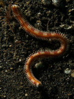 Fire Worm - Pherecardia sp. - Feuerwurm
