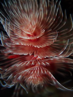 Feather Duster Worm - <em>Protula bispiralis</em> - R&ouml;hrenwurm