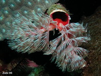 Feather Duster Worm - <em>Protula magnifica</em> - R&ouml;hrenwurm