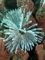 Common Feather Duster Worm - Sabellastarte sanctijosephi - Sanktjoseph Röhrenwurm