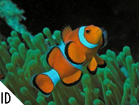 Go to the anemonefishes (clown fishes) and Damselfishes - zu den Anemonenfischen (Clownfischen) und Riffbarschen