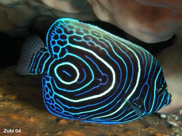 welche interessanten fische passen f r ein 60 liter aquarium rein aquaristik zierfische. Black Bedroom Furniture Sets. Home Design Ideas