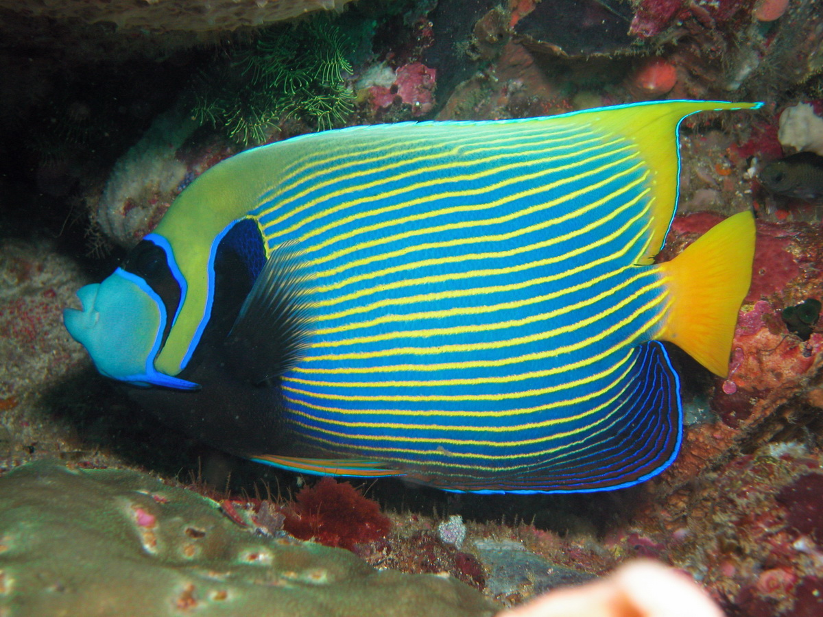 Angelfishes - Kaiserfische. Species on this page: Apolemichthys, Centropyge, Chaetodontoplus, Genicanthus, Holacanthus, Pomacanthus