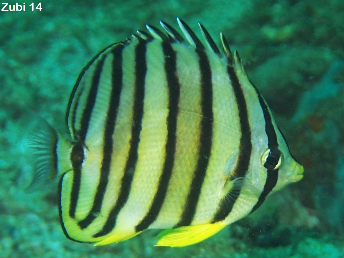 Angelfishes and Butterflyfishes, bannerfishes - Falterfische,  Kaiserfische und Wimpelfische