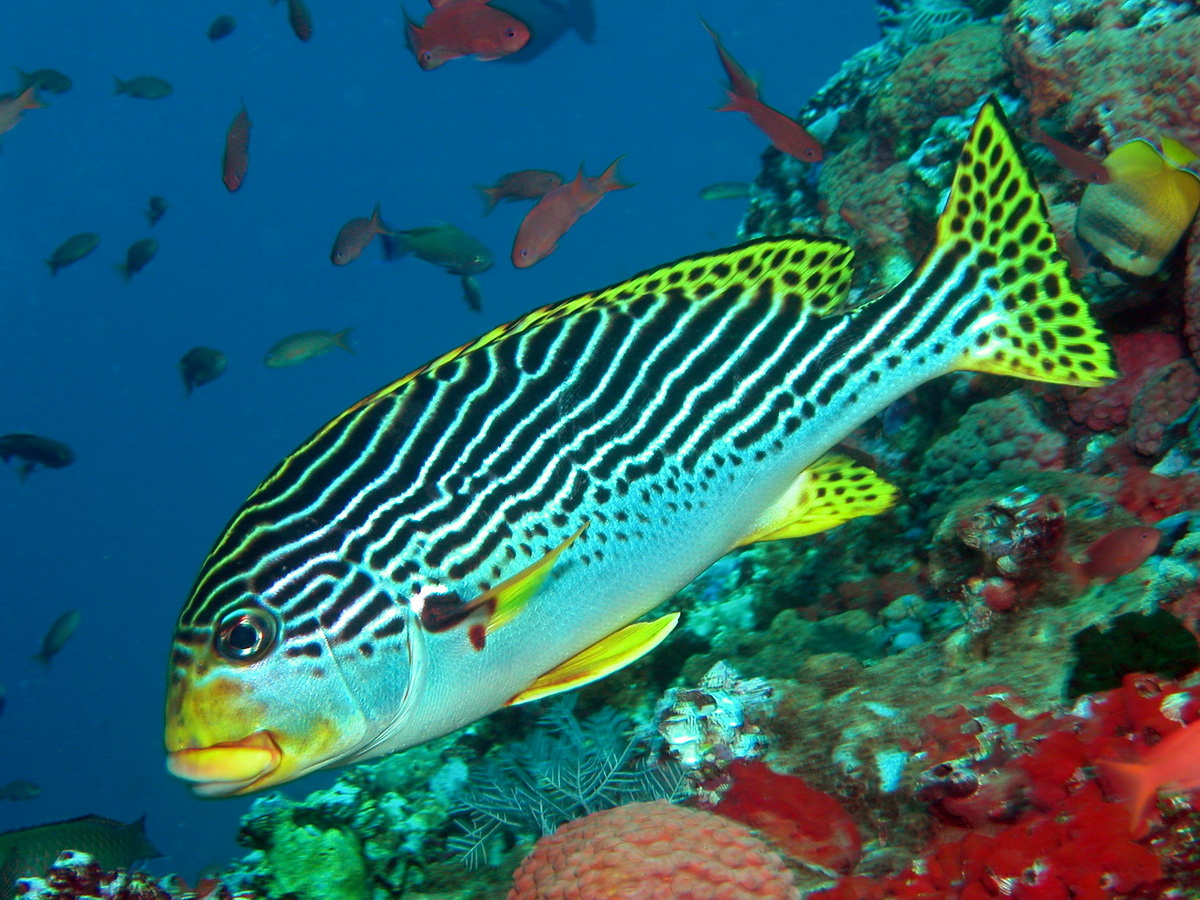 Sweetlips - Haemulidae - Süsslippen. Species on this page: Diagramma,Haemulon,  Paranthias, Plectorhinchus, Orthopristis, Xenocys