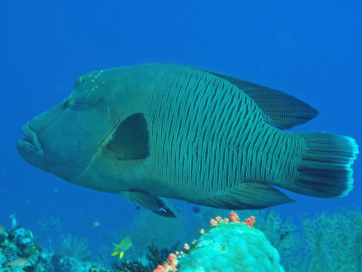 Wrasses - Lippfische. Species on this page: Anampses, Bodianus, Cheilinus, Cheilio, Choerodon, Cirrhilabrus, Coris, Gomphosus, Halichoeres, Hemigymnus, Hologymnosus, Iniistius, Labrichthys, Labroides, Labropsis, Leptojulis, Macropharyngodon, Novaculichthys, Oxycheilinus, Paracheilinus, Pteragogus, Thalassoma