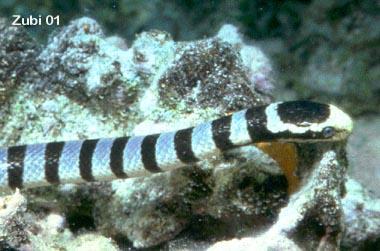 Giftige Wasserschlangen