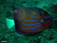Blue-ringed Angelfish - Pomacanthus annularis - Ring-Kaiserfisch