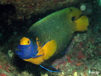 Yellow-mask Angelfish - <em>Pomacanthus xanthometopon</em> - Blaukopf-Kaiserfisch