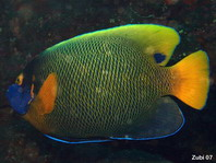 Yellow mask Angelfish - <em>Pomacanthus xanthometopon</em> - Blaukopf-Kaiserfisch