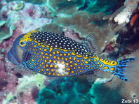 Spotted Boxfish (Trunkfish) - <em>Ostracion meleagris</em> - Weisspunkt-Kofferfisch