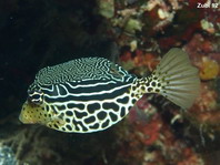 Striped Boxfish - <em>Ostracion solorensis</em> - Gestreifter Kofferfisch