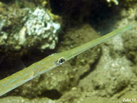 Reef Cornetfish (Smooth Flute Mouth) - <em>Fistularia commersonii</em> - Fl&ouml;tenfisch
