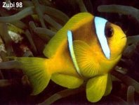 Two-banded anemonefish - <em>Amphiprion bicinctus</em> - Rotmeer-Anemonenfisch
