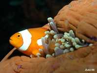 False clown anemonefish - Amphiprion ocellaris - Orange-Ringel Anemonenfisch