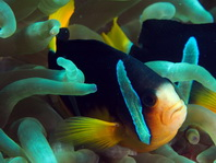 Oman Anemonefish - Amphiprion-omanensis - Oman Anemonenfisch