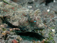 Fingered Dragonet detail mouth - <em>Dactylopus dactylopus</em> - Finger-Leierfisch Detail Maul