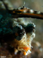 Orange and black dragonet juvenile about 3cm - <em>Dactylopus kuiteri</em> - Kuiters Leierfisch Jungtier ca. 3cm