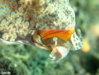 Details mouth Orange and black dragonet (Kuiters Dragonet) - <em>Dactylopus kuiteri</em> - Kuiters Leierfisch Details Maul