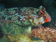 Ocellated Dragonet well camouflaged - <em>Synchiropus ocellatus</em> - Ocellus Leierfisch gut getarnt