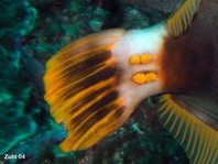 Yelloweye Filefish (barred filefish) - <em>Cantherhines dumerili</em> - Gelbschwanz Feilenfisch