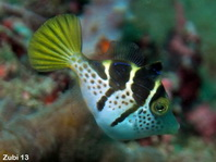 Mimic leatherjacket (blacksaddle mimic) - <em>Paraluteres prionurus</em> - Schwarzsattel-Feilenfisch
