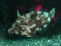 Whitebar Filefish (Pig faced leather jacket) - Paramonacanthus choirocephalus - Weissstreifen-Feilenfisch