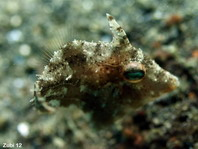 Baby Whitebar Filefish (Pig faced leather jacket) - Paramonacanthus choirocephalus - Baby Weissstreifen-Feilenfisch