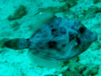 Reticulated Leatherjacket (Filefish) - Stephanolepis diaspros - Netz-Feilenfisch